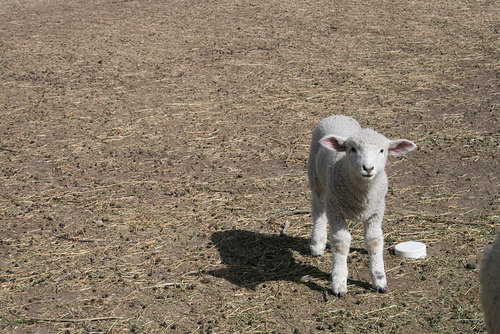 Parideaza Farm lamb