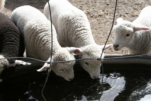 Parideaza Farm lambs