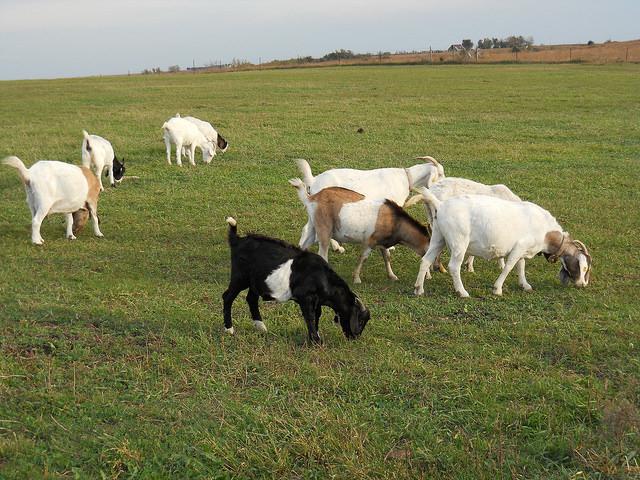 Heehaw Goats