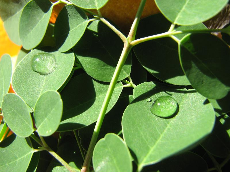 Dew on Moringa Leaves