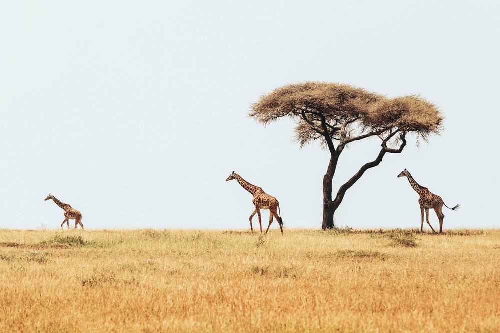 CallieGiovanna_Africa_Tanzania_Serengeti_20150101_08194.jpg