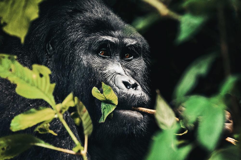CallieGiovanna_Africa_Uganda_BwindiImpenetrableForest_20150101_09578.jpg