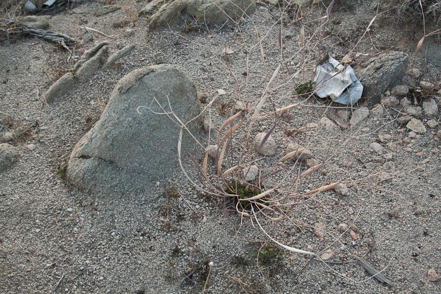 Eriogonum Inflatum , Joshua Tree National Forest