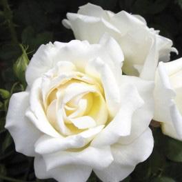 Caroline Victoria Rose