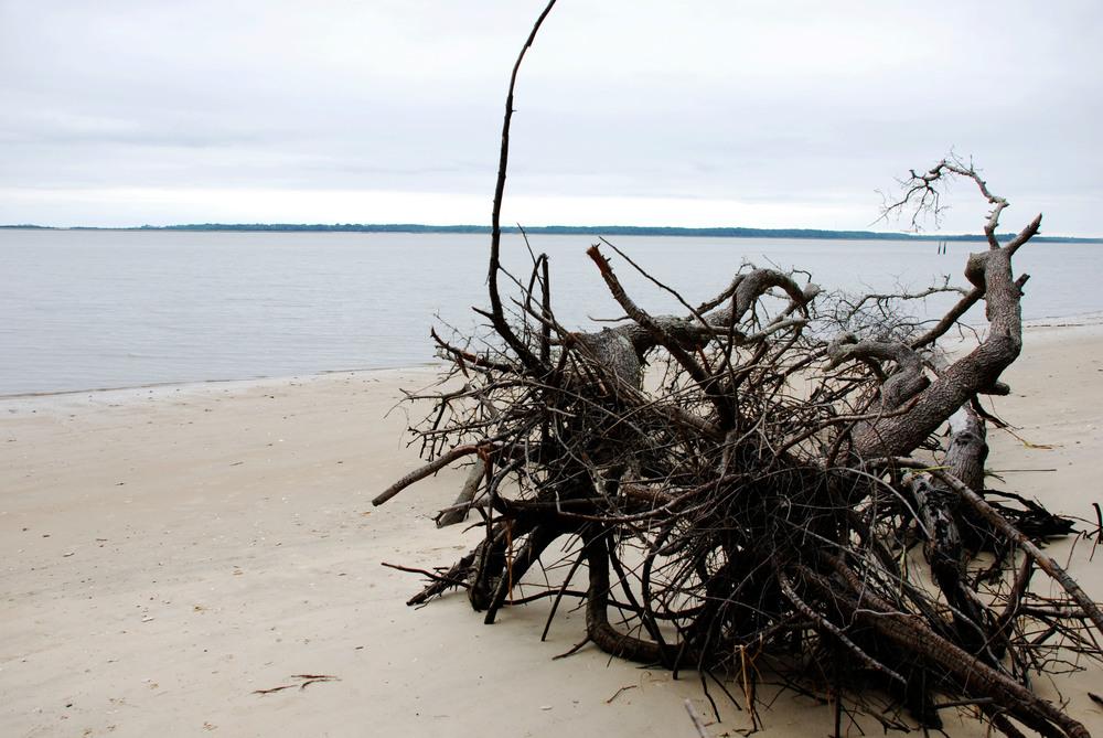 Beaufort tree.jpg
