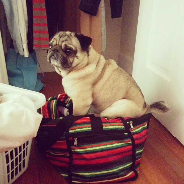 And then King Tooth was just living the #onebag lifestyle. Luckily I just hung my sweaters before he climbed in. (I've been living out of that duffle bag for almost 2 years now. Love that I get to hang some clothes now that we're house sitting for the winter). #lessismore #simplify #simpleliving #puglove #pugs #pug #pugsitting #bagpug