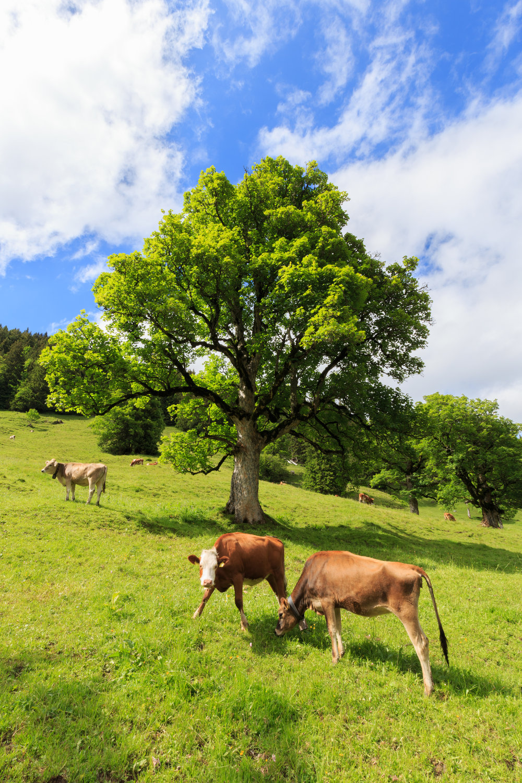 Brown Swiss Cows