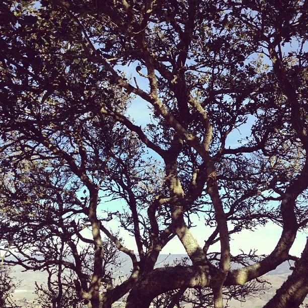 Oak Tree on Madonna
