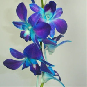 Orchid (tinted)