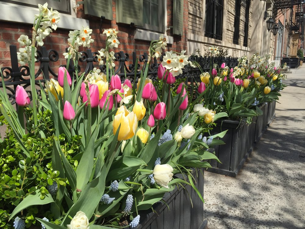 Spring Tulips in the West Village
