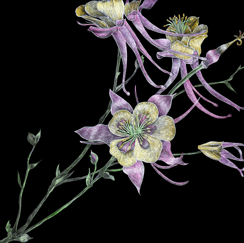 Colored Columbines by Lisa Goesling-Copyright