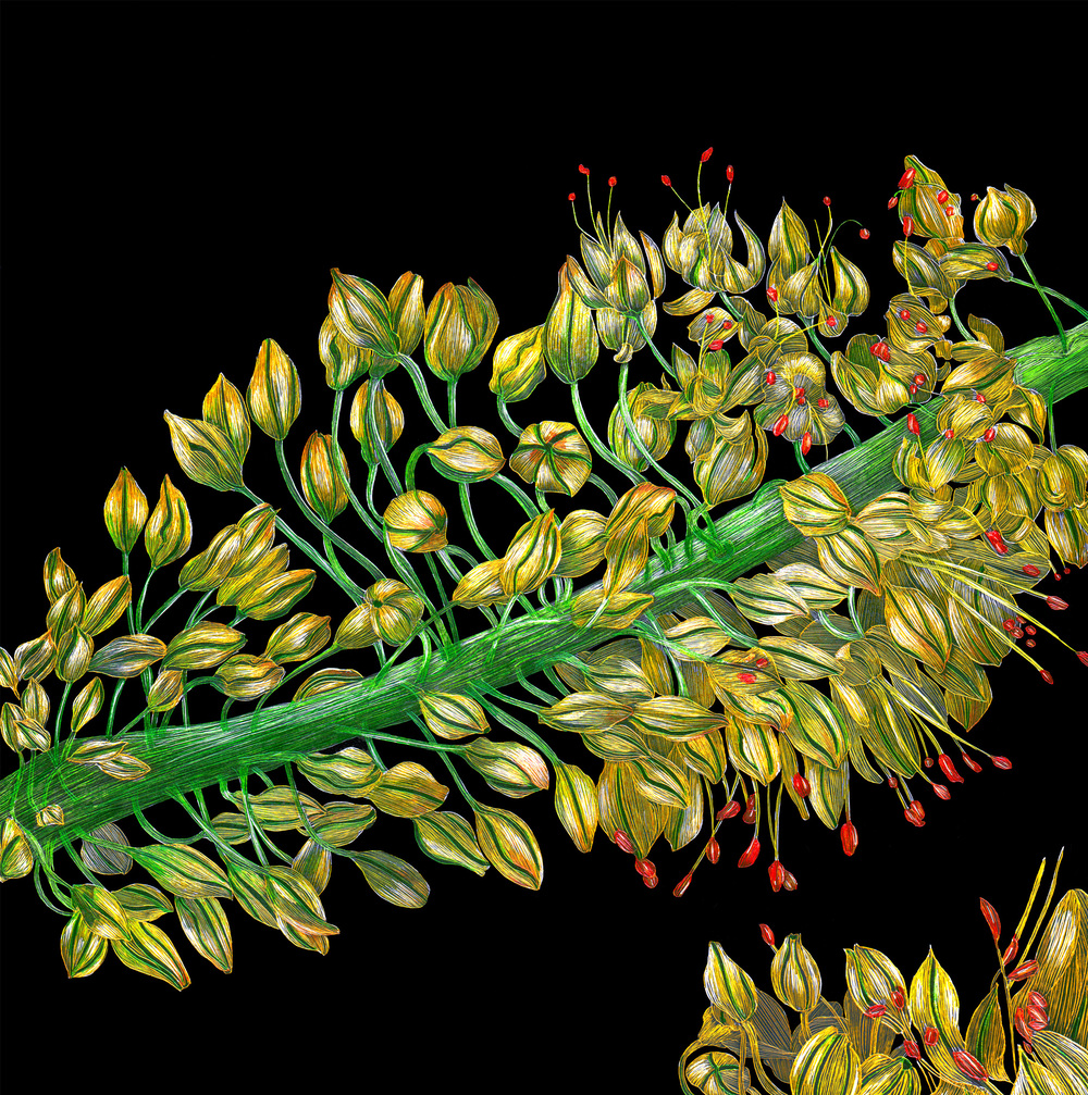 Eremurus or Foxtail Lily by Lisa Goesling