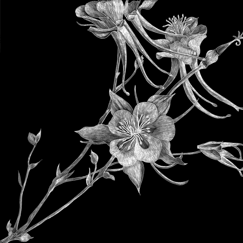 Black and White Columbine