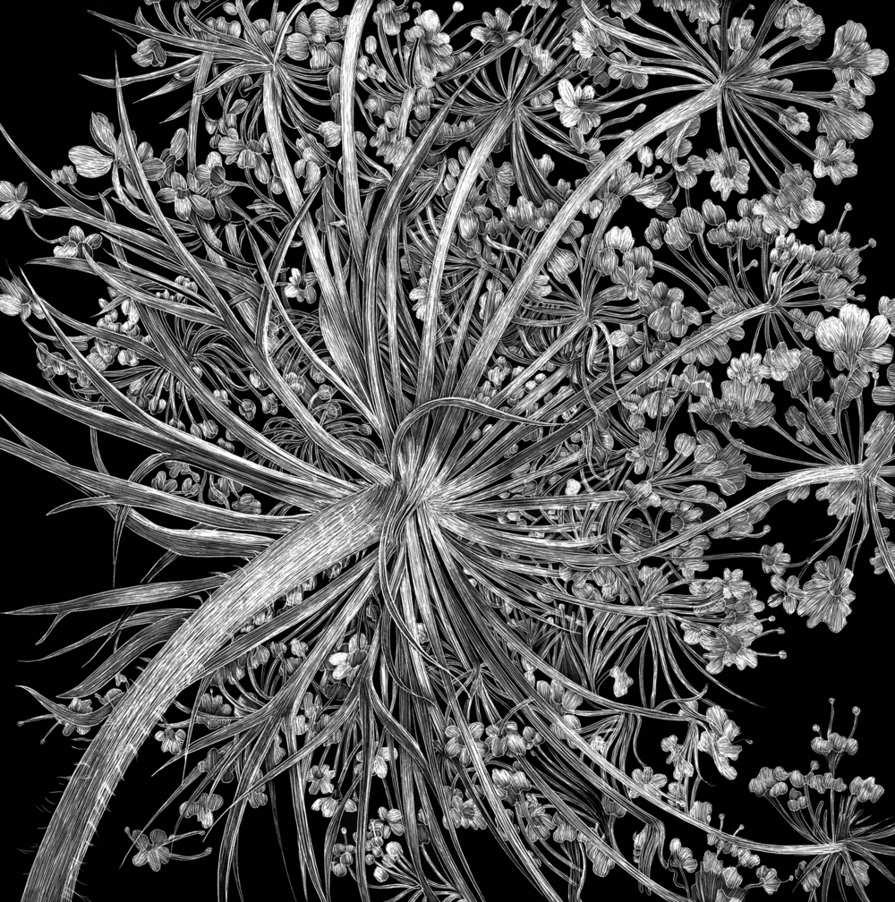 Queen Ann's Lace by Lisa Goesling