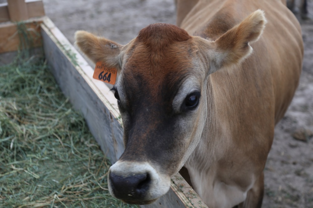 Jersey milk cow
