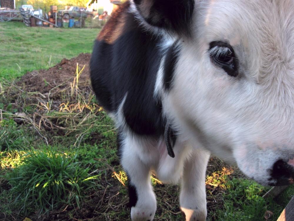 Alaska cow