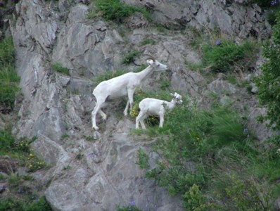 sce.wl.dall.sheep.mountain.jpg
