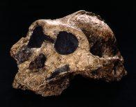 P. boisei image from http://australianmuseum.net.au/paranthropus-species