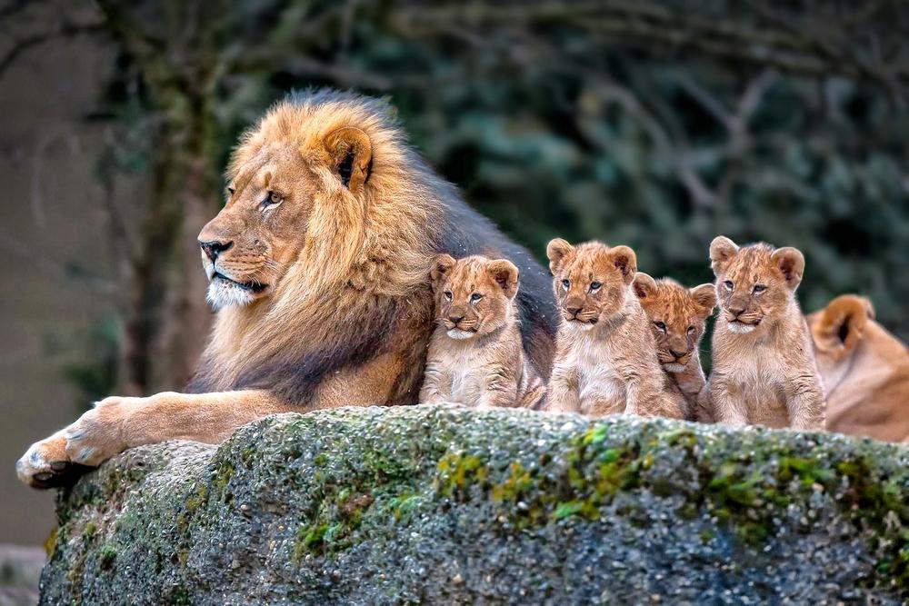 family-lion-desktop-background-499168.jpg