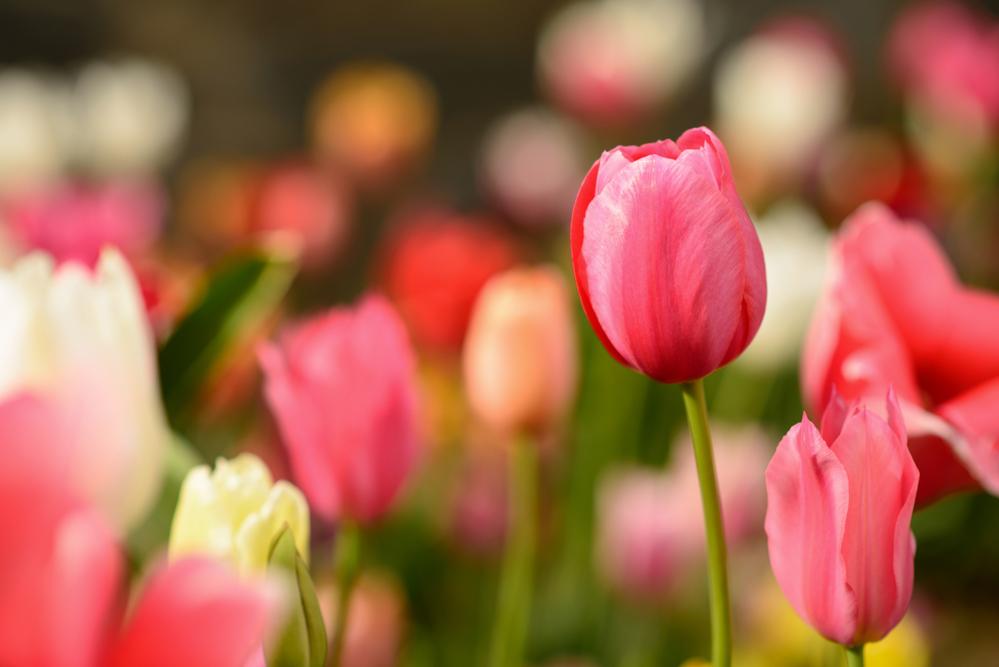 Tulips_4974.jpg
