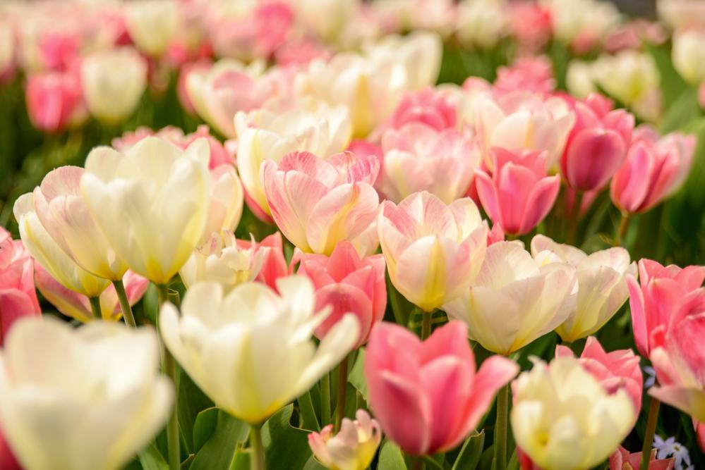 Tulips_4896.jpg