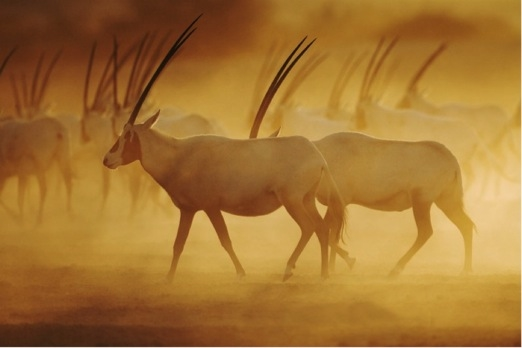 Arabian Oryx were previously extinct in the wild, but through conservation now live in breeding herds on Sir Bani Yas Island