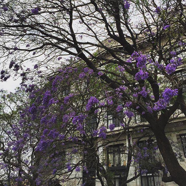 Jacaranda y Bellas Artes #mexicomagico #jacarandatree #primavera #ciudaddemexico