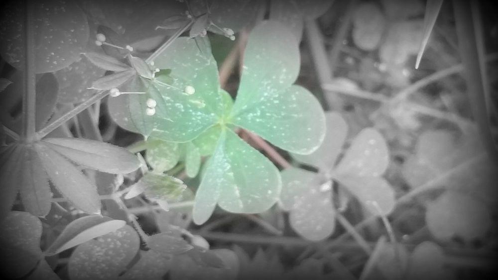 clover pic.jpg