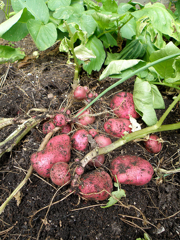 (Red Bliss Potato: www.bonnieplants.com)