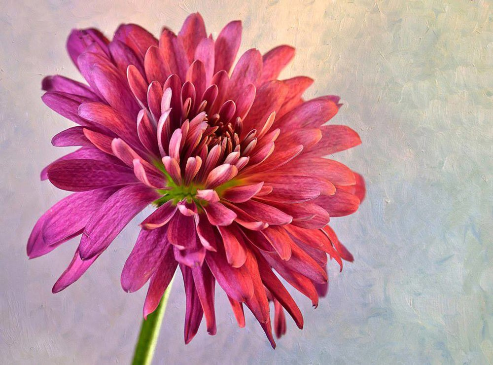 pink dahlia open signature image.jpg