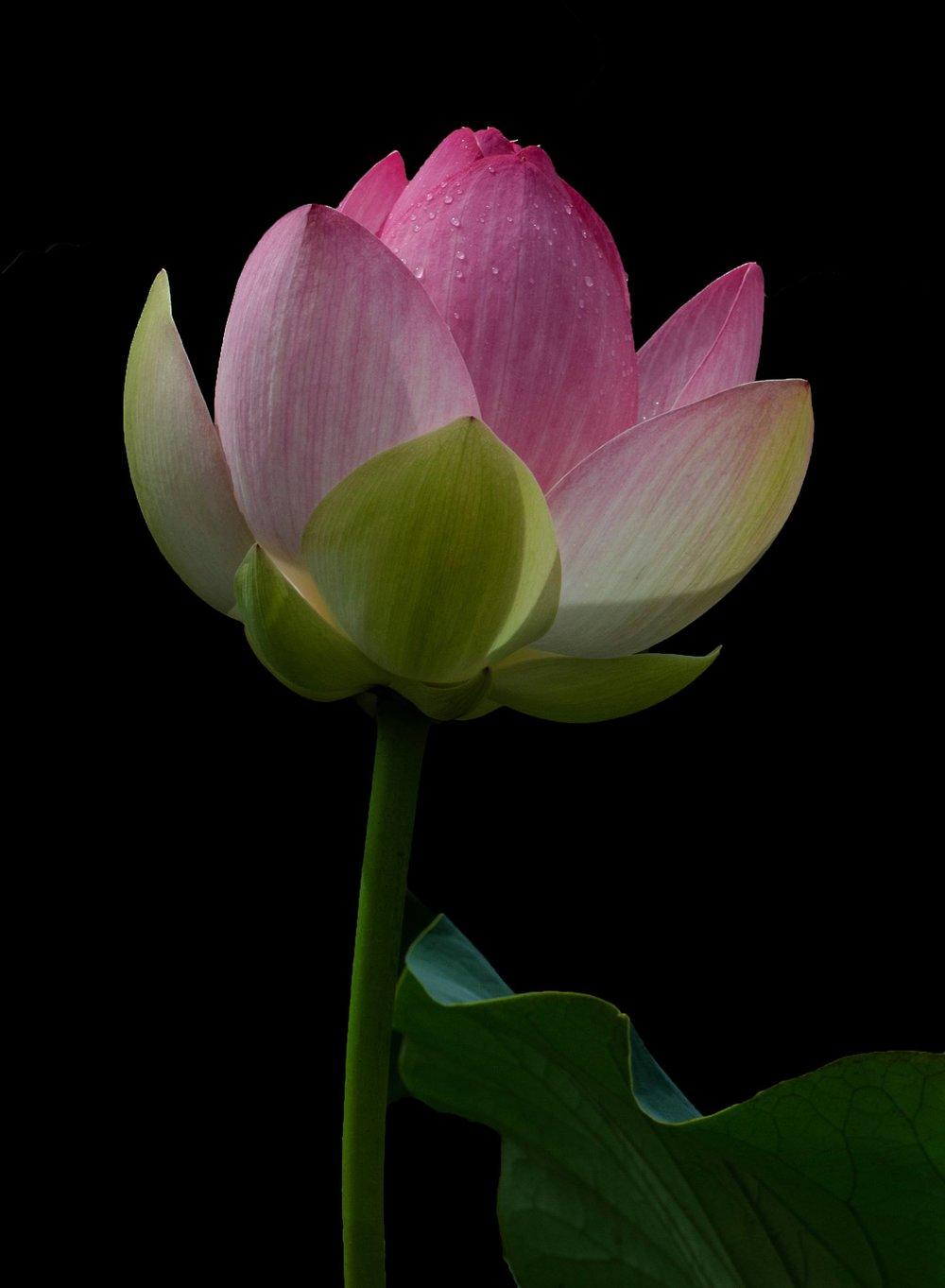 pink lotus like.jpg