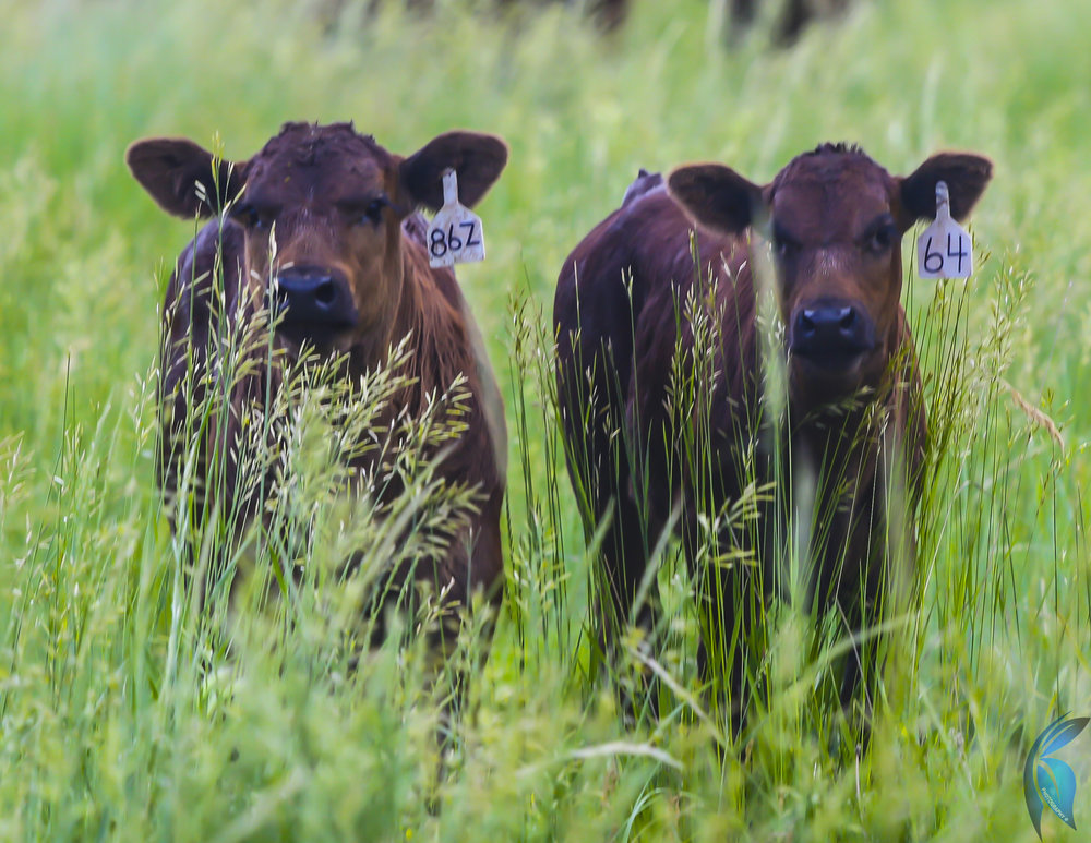 Calves On Grass