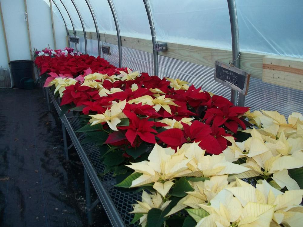 poinsettias white and red.jpg