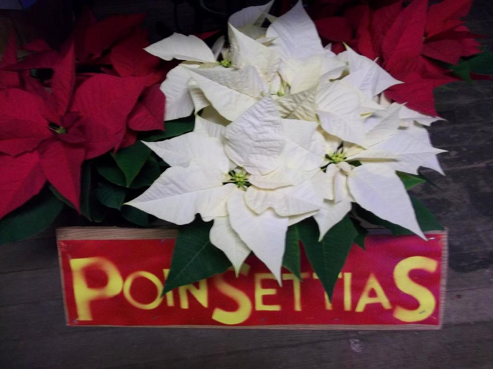 poinsettias with sign.jpg