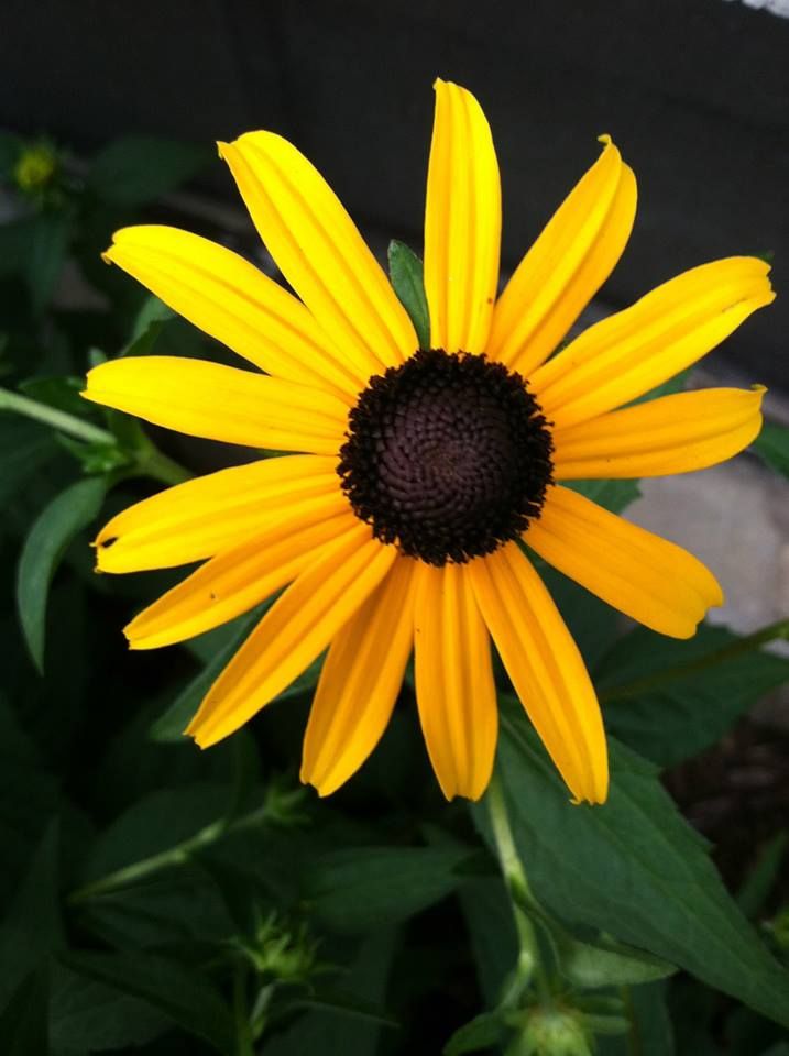 black eye susan.jpg