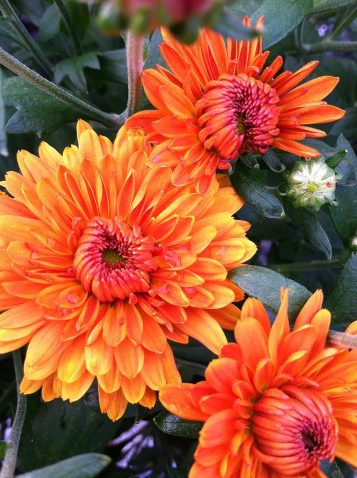 orange mums.jpg