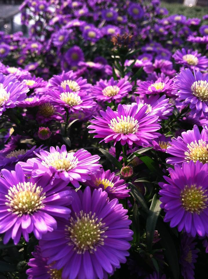 purple flowers.jpg