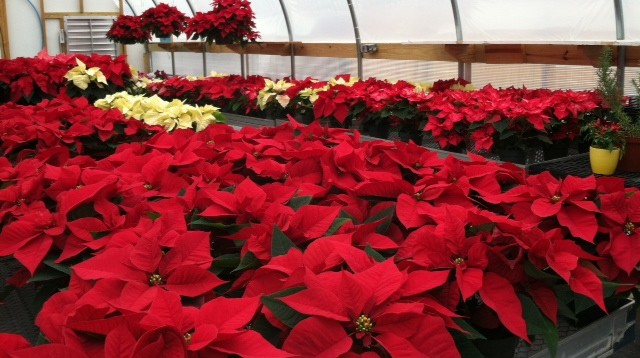 christmas poinsettias 2013.jpg