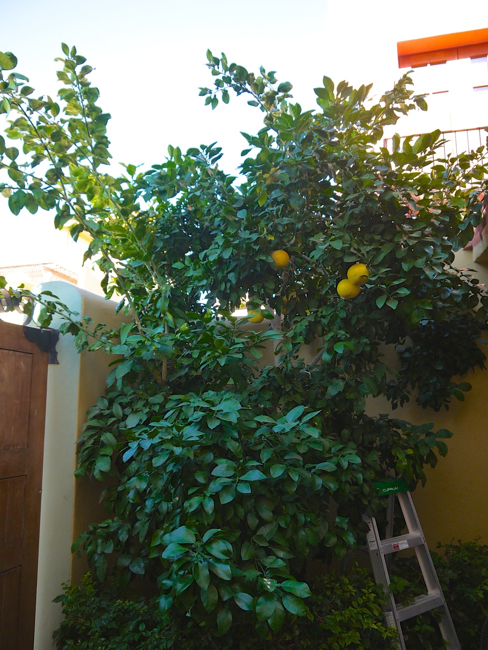 Picking fresh grapefruit from a backyard tree- one of the little things that makes a Loreto vacation so magical.