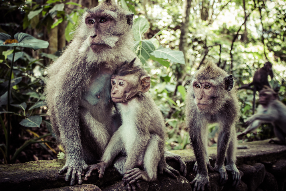 monkeys-in-ubud-bali-11.jpg