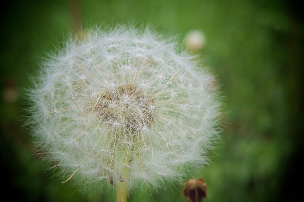 dandelion_canon_macro_life_size_50mm.jpg