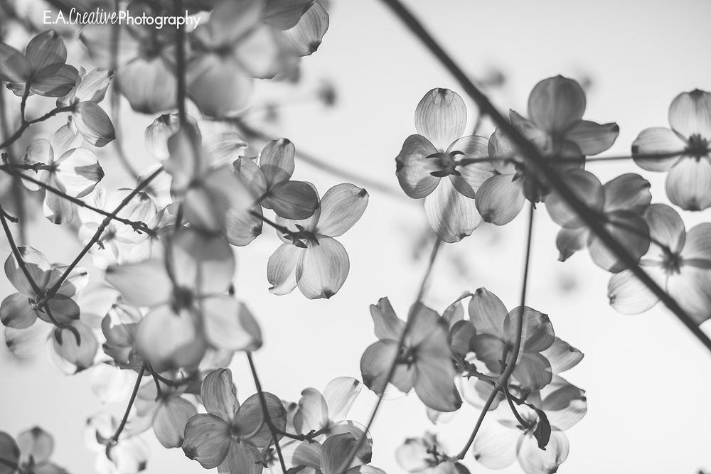 Colorless Dogwood