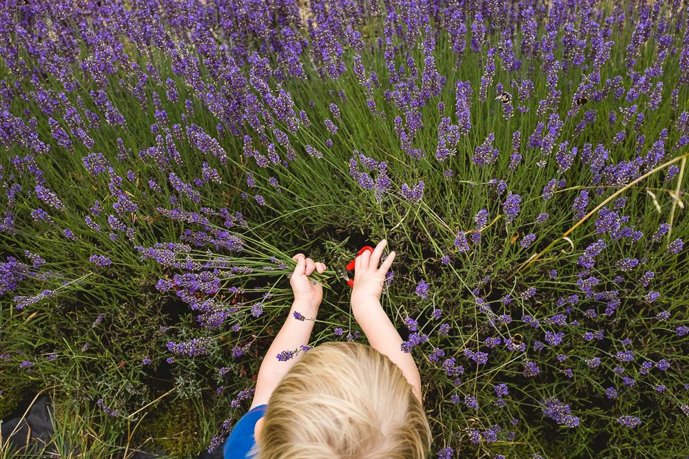 Day 21 - Lavender picking at Shropshire Lavender