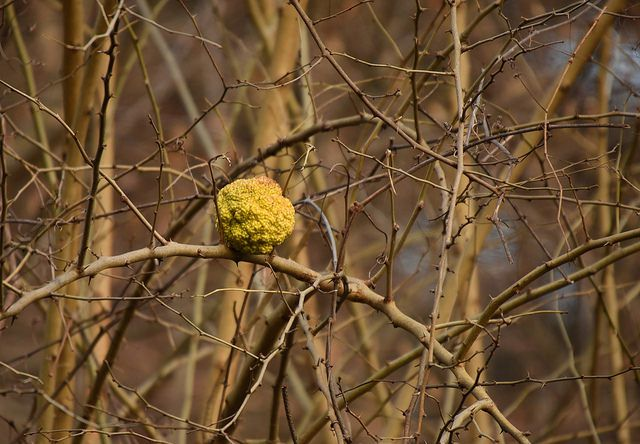 [Osage orange. Credit: Steven Serveringhaus ]