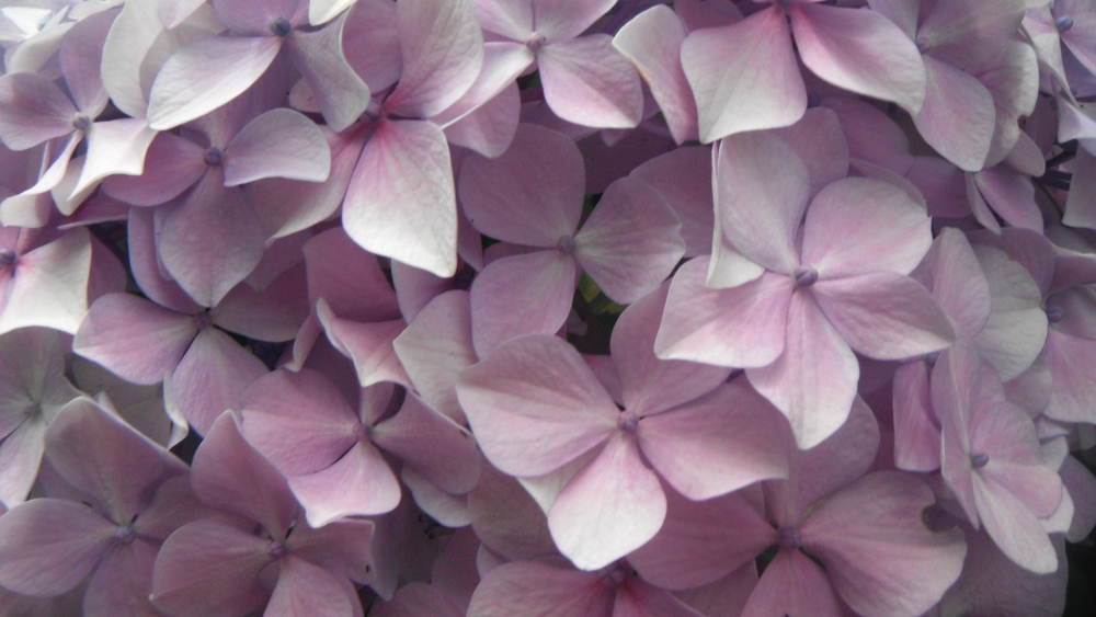 Hydrangea awesomeness in New Zealand.