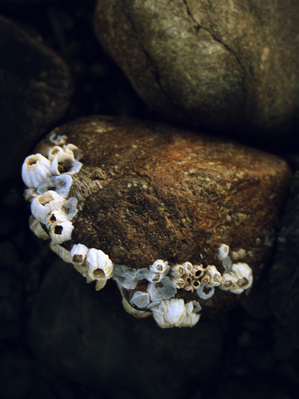 Portrait of barnacles 1.jpg