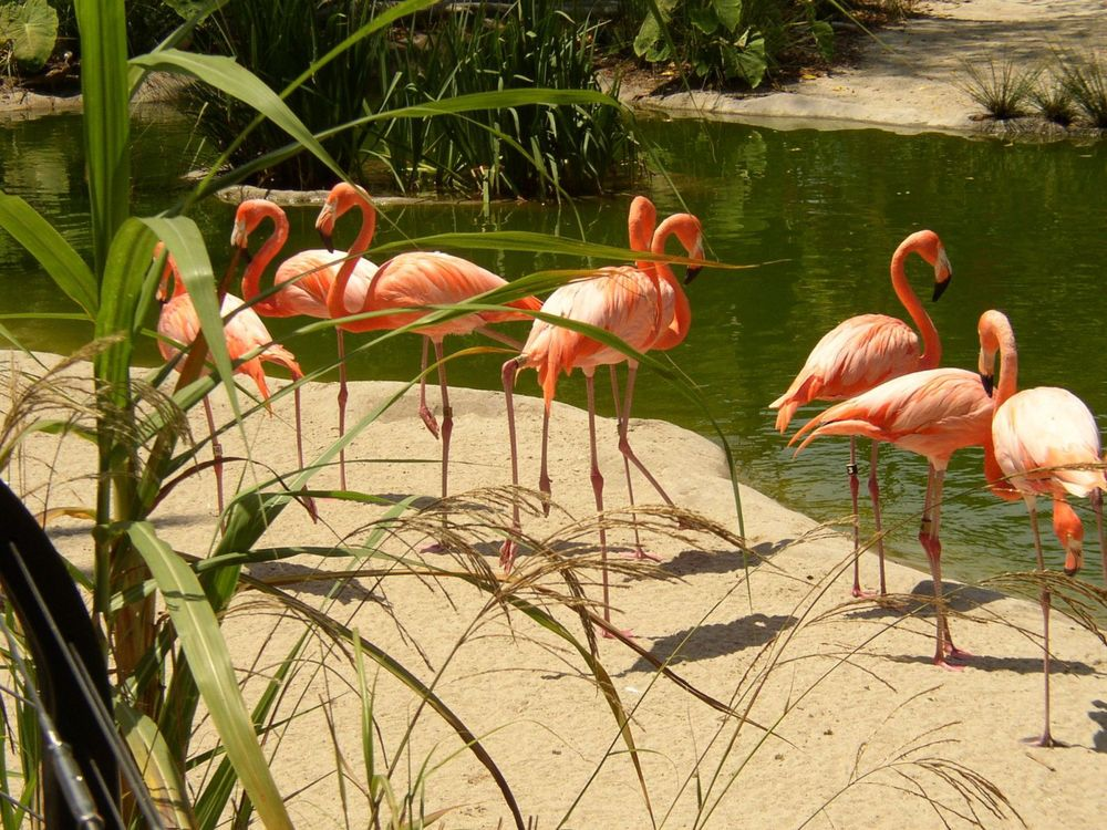 Florida Flamingos.jpg