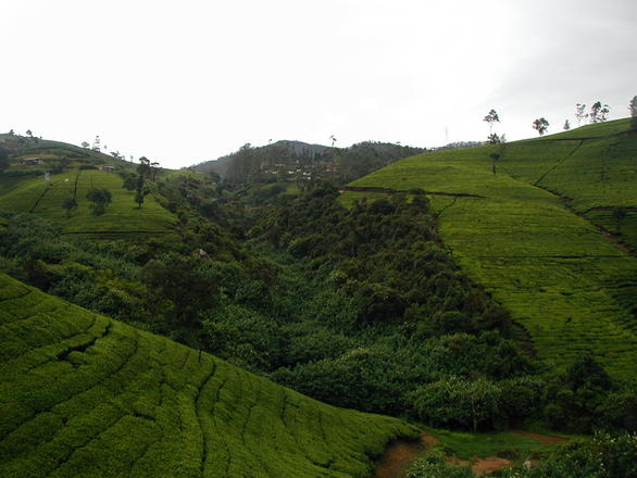 Sri Lanka - Tea Hills