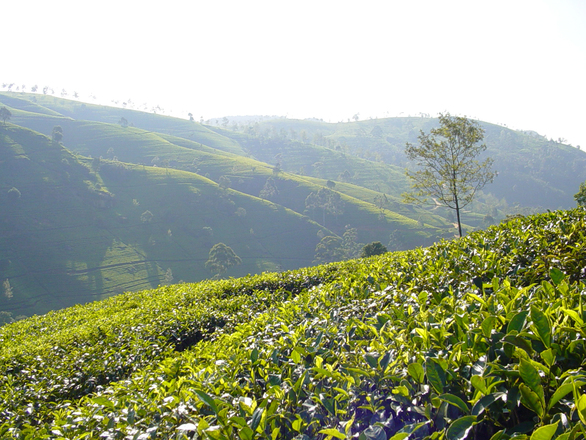 Sri Lanka tea-plantage-1516634.jpg