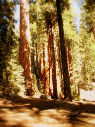 glowing-sequoias-1557254.jpg